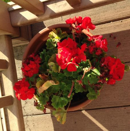 Image result for atypical60 geraniums
