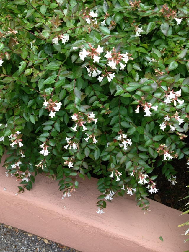 Ttheoule. Jasmine outside our apartment beautiful and fragrant.