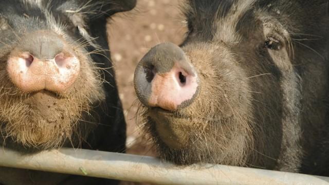 stinky hog