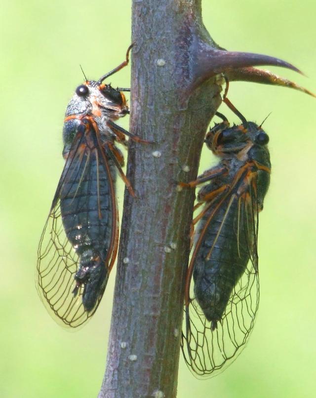 cicadas in a tree