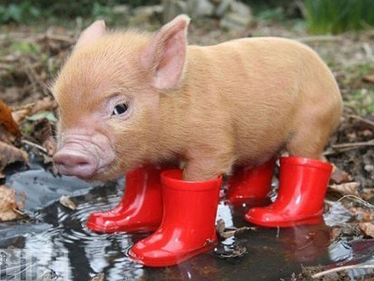 Little piggy