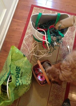 Gatherine the decorations. Chippy is sniffing