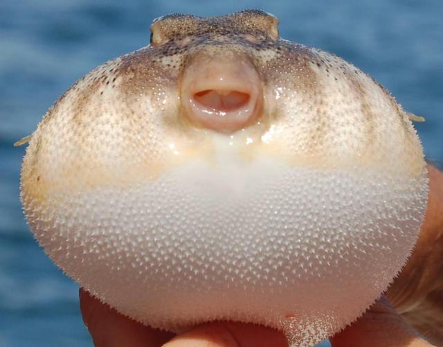 blowfish-puffer-fish-s34cznuk3ozyelpi