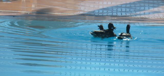 Theoule. Pool. Entitled ducks.